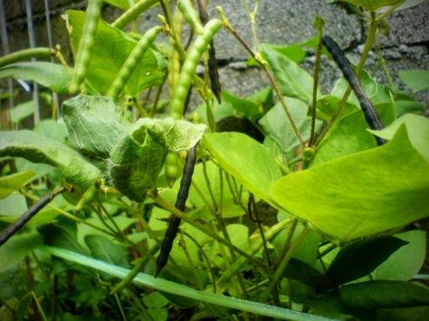 Mung Bean Plant